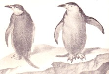 Ringed penguins